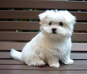two Cute and Adorable Maltese Puppies for